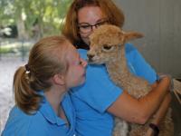 Klein alpaca geboren kinderboerderij Papenhoeve
