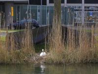 20171004 Dordtenaren opgepast voor zwanen Spuiboulevard Dordrecht Tstolk 001