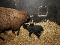 Eerste lammetjes geboren Wantijpark Dordrecht
