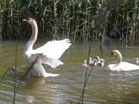 Zeven zwaantjes genieten in de sloten rondom Sterrenburgpark Dordrecht