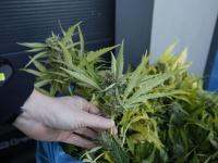 ruim 700 planten bij hennepkwekerij 1 aanhouding