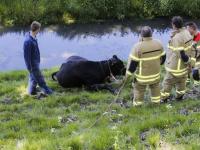 Koeien in de sloot Zeedijk Dordrecht