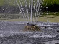 Meerkoet broedt in fontein