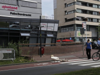 Zwanen aan de wandel Spuiboulevard