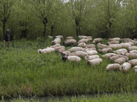 Schaapsherder wandelt heerlijk in de Dordtse Biesbosch