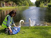 Papa zwaan weer thuis Nassausingel Dordrecht