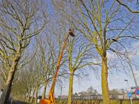 Platanen bomen krijgen jaarlijkse beurt