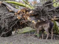 Herten genieten van omgevallen oude zilverlinde Park merwestein