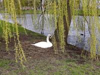 Zwaan zit op vertrouwde plek Nassauweg Dordrecht