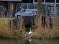 20171004 Dordtenaren opgepast voor zwanen Spuiboulevard Dordrecht Tstolk